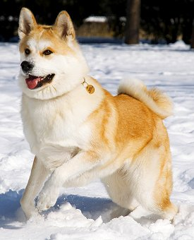 Akita inu for Cani da salotto