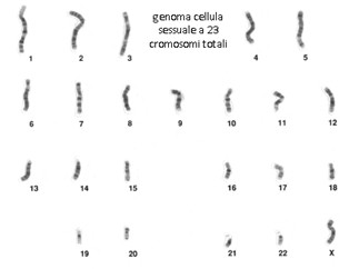 genoma cellula sessuale a 23 cromosomi