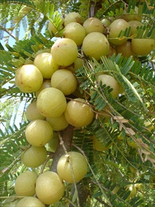 Amla (Emblica officinalis)