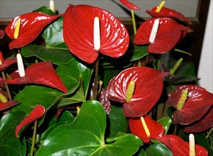 Piante da interno - Anthurium