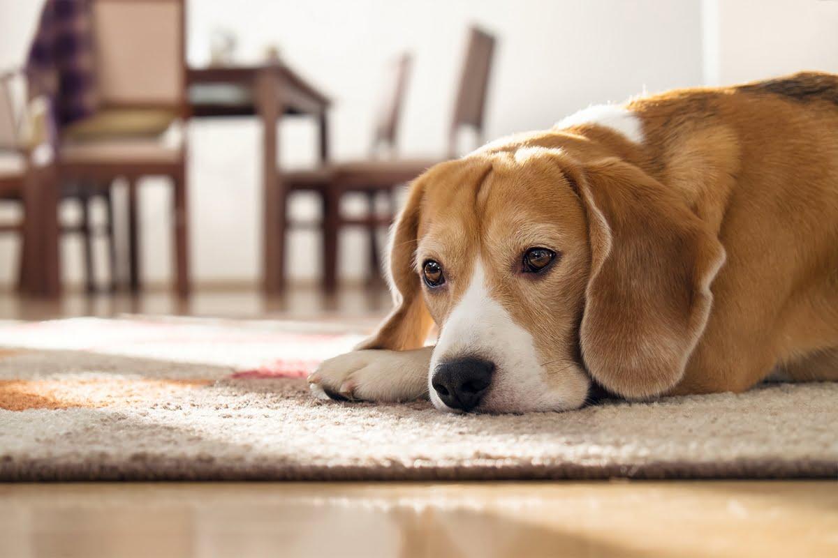 Depressione del cane